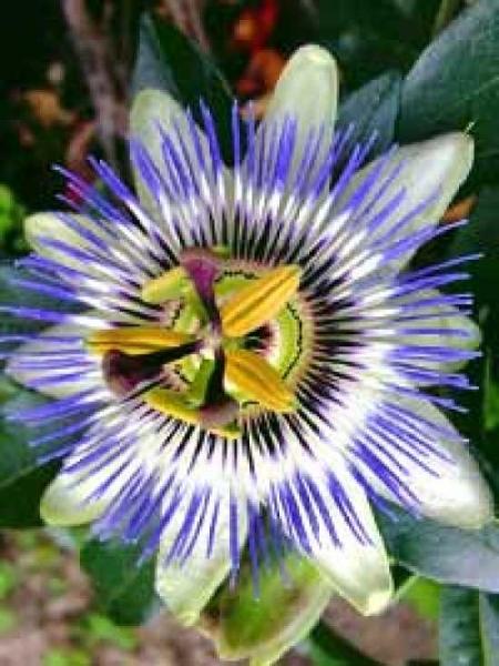 Passiflora caerulea 'Grandiflora' / Großblumige Blaue Passionsblume