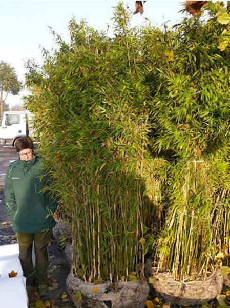 Fargesia murielae 'Jumbo' / Gartenbambus 'Jumbo' 200-250 cm mit Ballierung