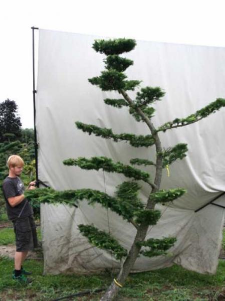 Larix decidua H: 320 cm B: 200 cm / Garten-Bonsai (801111)