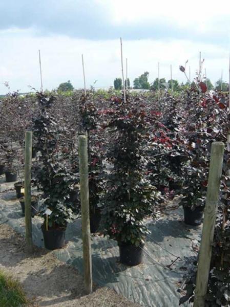 Fagus sylvatica 'Purpurea' / Blutbuche 175-200 cm im 12-Liter Container