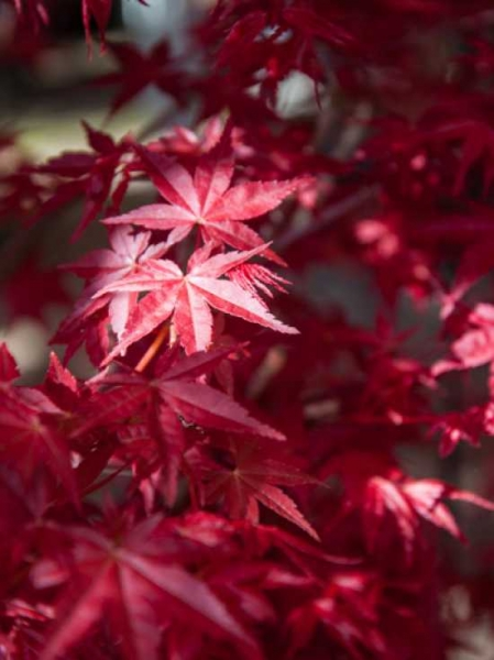 Acer palmatum 'Deshojo' auf Stamm / Japanischer Ahorn / Fächer-Ahorn 'Deshojo'
