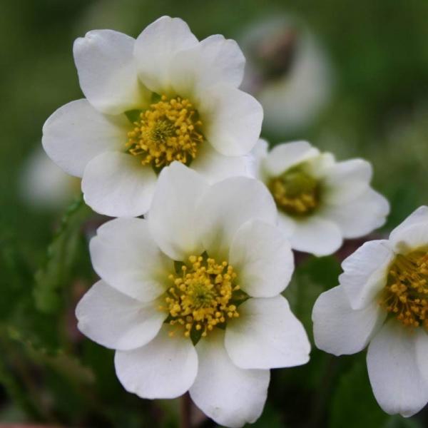Dryas suendermannii / Garten-Silberwurz