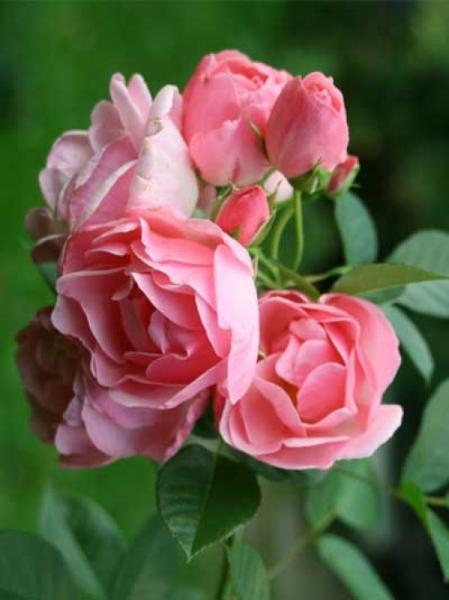 Rosa 'Astrid Lindgren ®' / Strauchrose 'Astrid Lindgren'