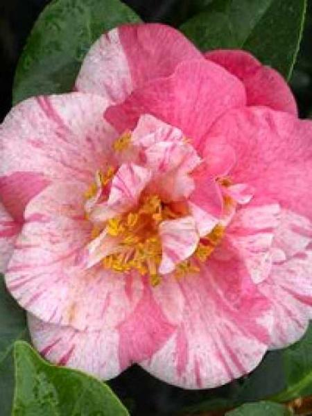 camellia japonica 39 giuseppe traverso 39 japanische kamelie 39 giuseppe traverso 39 g nstig kaufen. Black Bedroom Furniture Sets. Home Design Ideas