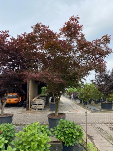 Acer palmatum 'Atropurpureum' 200-250breit x 350-400hoch / Roter Fächerahorn (Nr.63)