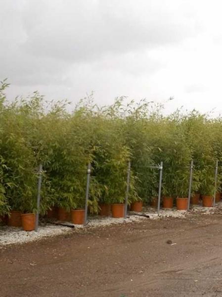 Phyllostachys aurea / Knoten-Bambus 175-200 cm im 20-Liter Container
