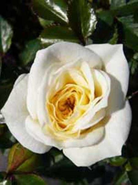 Rosa 'Honeymilk ®' / Zwergrose 'Honeymilk'