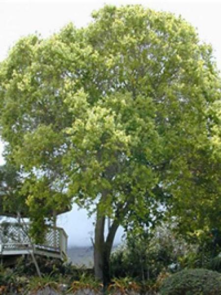 Cinnamomum camphora / Kampferbaum / Kampferlorbeer