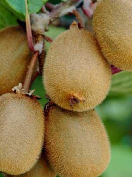 Actinidia deliciosa 'Matua' / Kiwi 'Matua'