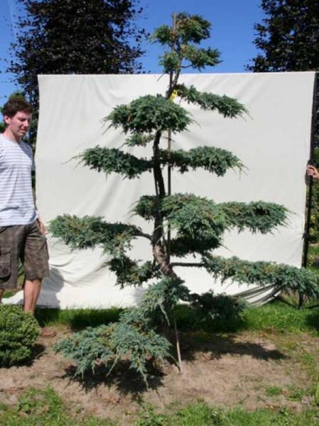Juniperus squamata 'Blue Carpet' H: 220 cm B: 160 cm / Garten-Bonsai (306133)