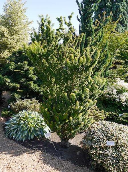 Acer palmatum 'Kotohime' / Japanischer Fächerahorn 'Kotohime'