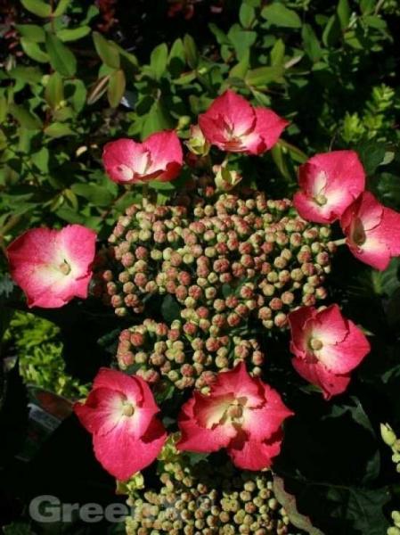 Hydrangea macrophylla 'Rotkehlchen' / Teller-Hortensie 'Rotkehlchen'
