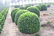 Buchsbaum-Riesenkugel