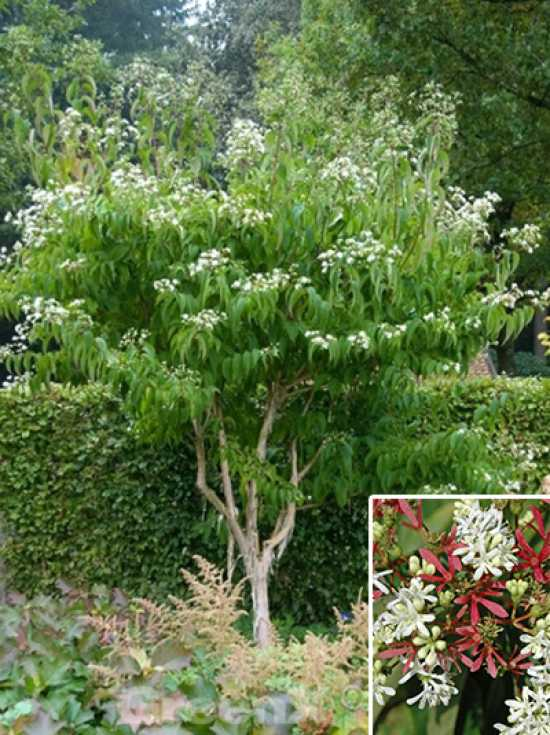 heptacodium miconioides sieben s hne des himmels strauch g nstig kaufen baumschule new garden. Black Bedroom Furniture Sets. Home Design Ideas
