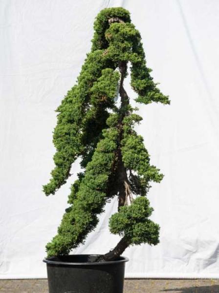 Juniperus procumbens 'Nana' H: 160 cm B: 90 cm / Garten-Bonsai (514)