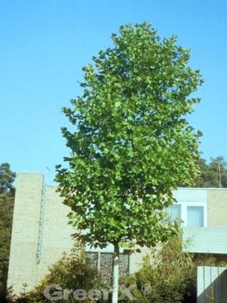 Platanus hispanica 'Pyramidalis' / Ahornblättrige Plantane 'Pyramidalis'
