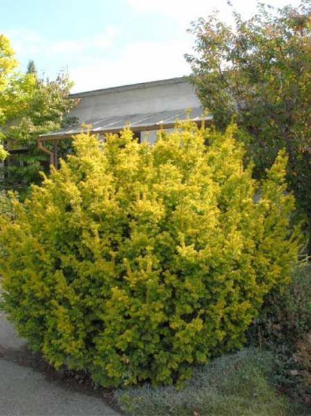 Taxus baccata 'Semperaurea' / Goldene Eibe / Eibe 'Semperaurea'