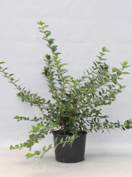 Lonicera purpusii 'Winter Beauty' / Winter-Heckenkirsche 'Winter Beauty' / Wintergeißblatt