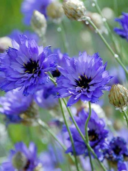 Catananche caerulea 'Major' / Blaue Rasselblume