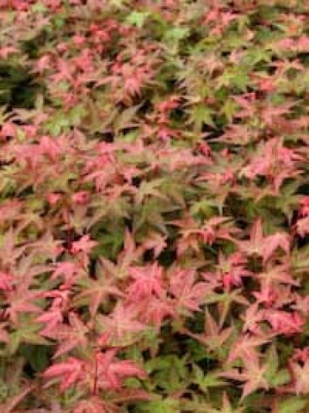 Acer palmatum 'Corallinum' auf Stamm / Fächer-Ahorn 'Corallinum' / Japanischer Ahorn