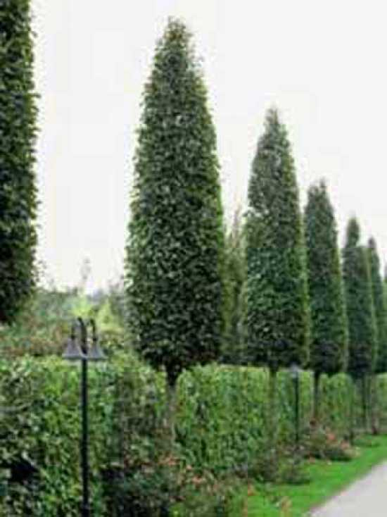 carpinus betulus 39 frans fontaine 39 s ulen hainbuche 39 frans fontaine 39 g nstig bestellen. Black Bedroom Furniture Sets. Home Design Ideas
