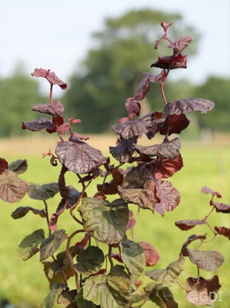 Corylus avellana 'Red Majestic ®' / Blut-Korkenzieher-Hasel / Rotblättrige Korkenzieher-Hasel