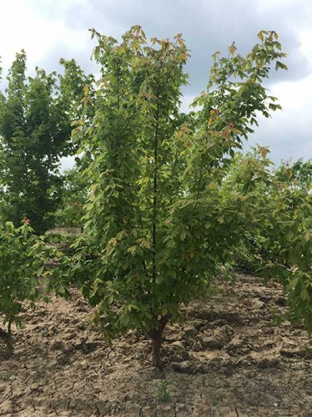 Acer griseum / Zimt-Ahorn