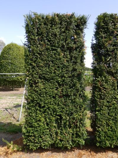 Taxus baccata / heimische Eibe Fertigheckenelement 300 x 100 x 40 cm mit Drahtballierung