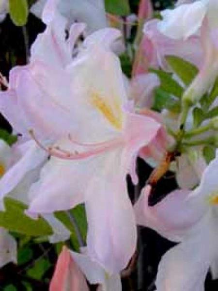 Azalea luteum 'Sylphides' (Knap-Hill) / Laubabwerfende Azalee 'Sylphides'