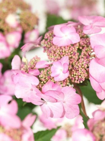 Hydrangea macrophylla Endless Summer 'Twist-n-Shout ®' / Teller-Hortensie Endless Summer 'Twist-n-Shout'