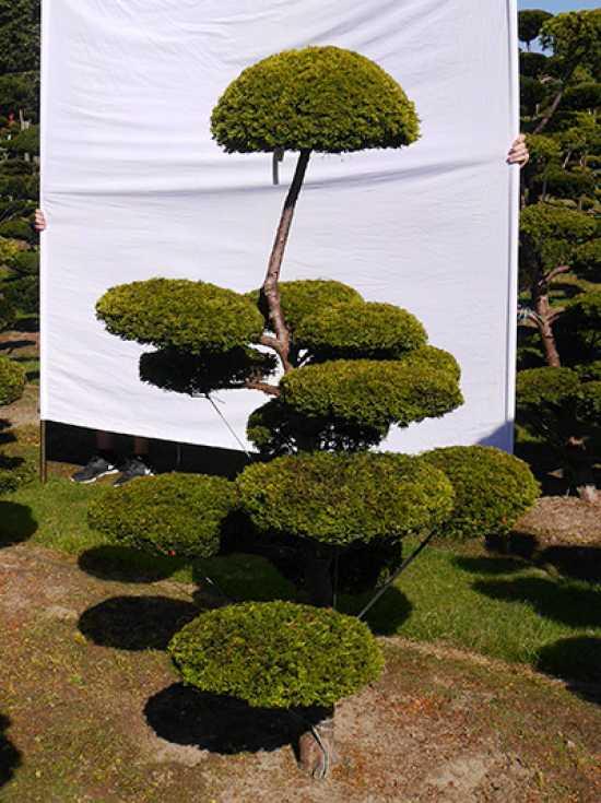 Taxus bonsai eiben bonsai g nstig in top for Bonsai versand