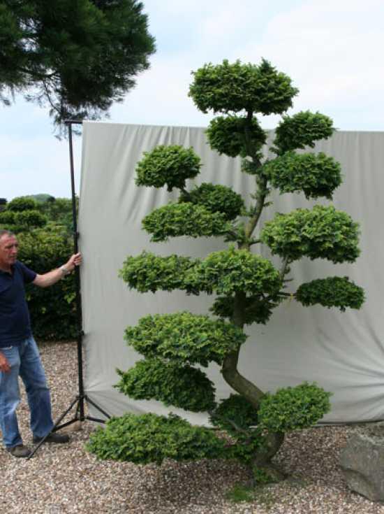 ulmus minor 39 jacqueline hillier 39 h 280 cm b 200 cm garten bonsai 101227 g nstig kaufen. Black Bedroom Furniture Sets. Home Design Ideas