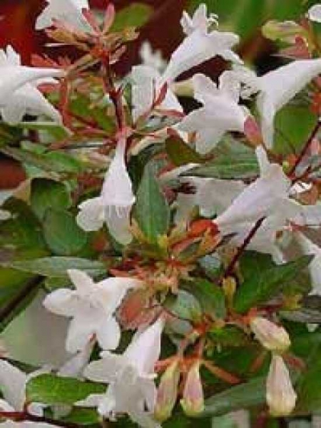 Abelia grandiflora 'Francis Mason' / Großblumige Abelie 'Francis Mason'