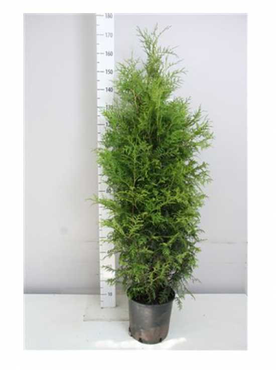 thuja occidentalis 39 brabant 39 lebensbaum 39 brabant 39 120 140 cm im 10 liter container g nstig. Black Bedroom Furniture Sets. Home Design Ideas