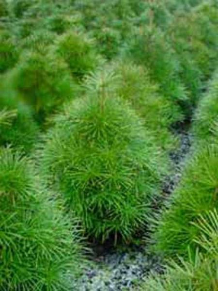 Sciadopitys verticillata 'Compacta' / Japanischer Sonnenschirmbaum