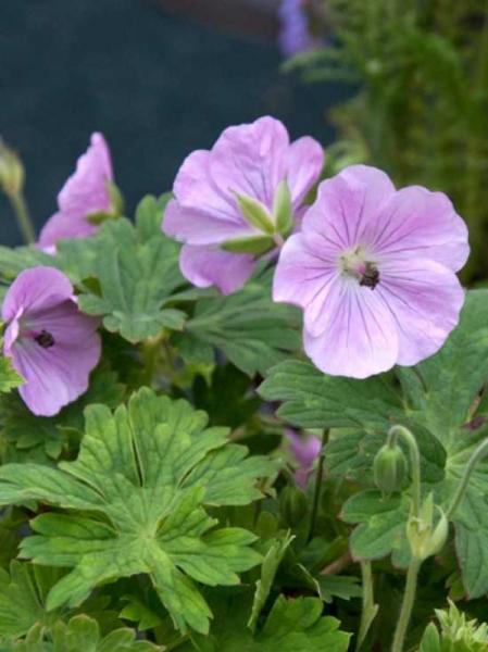 Geranium wallichianum 'Lilac Ice ®' / Garten-Storchschnabel / Garten