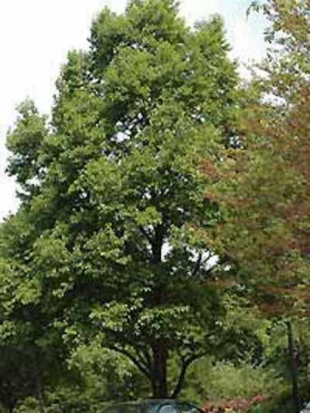 Alnus japonica / Japanische Erle