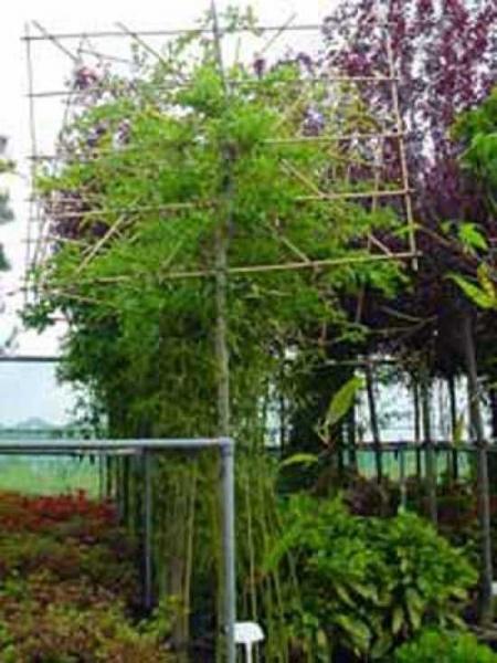 Fraxinus angustifolia 'Hochstamm-Spalier' / Purpur-Esche H:150 B:200 T:10 (Stamm 200 cm)