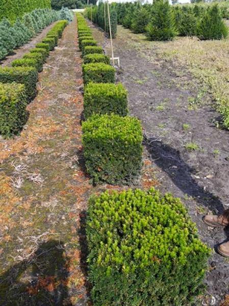 Taxus baccata 'Kubus/Quader' / heimische Eibe 'Kubus/Quader' 50 x 50 x 50 cm mit Drahtballierung