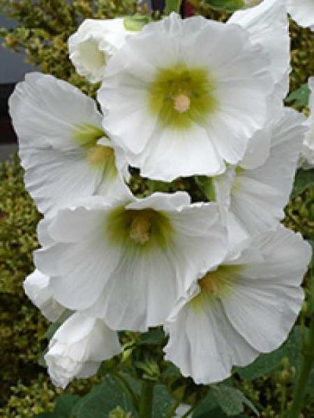 Alcea rosea 'Pleniflora' weiß / Gefüllte Stockrose weiß