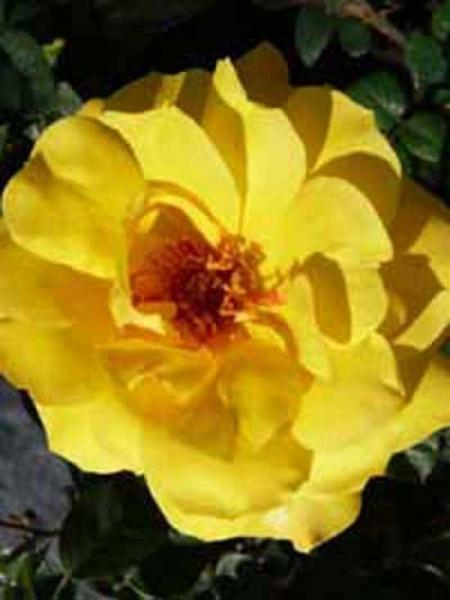 Rosa 'Golden Glow ®' / Edelrose 'Golden Glow'