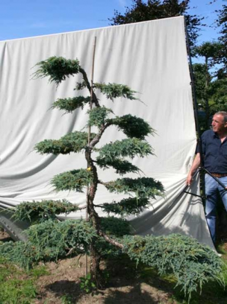 Juniperus squamata 'Blue Carpet' H: 220 cm B: 180 cm / Garten-Bonsai (306140)
