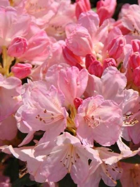 Rhododendron yakushimanum 'INKARHO Percy Wiseman' / Rhododendron 'INKARHO Percy Wiseman'