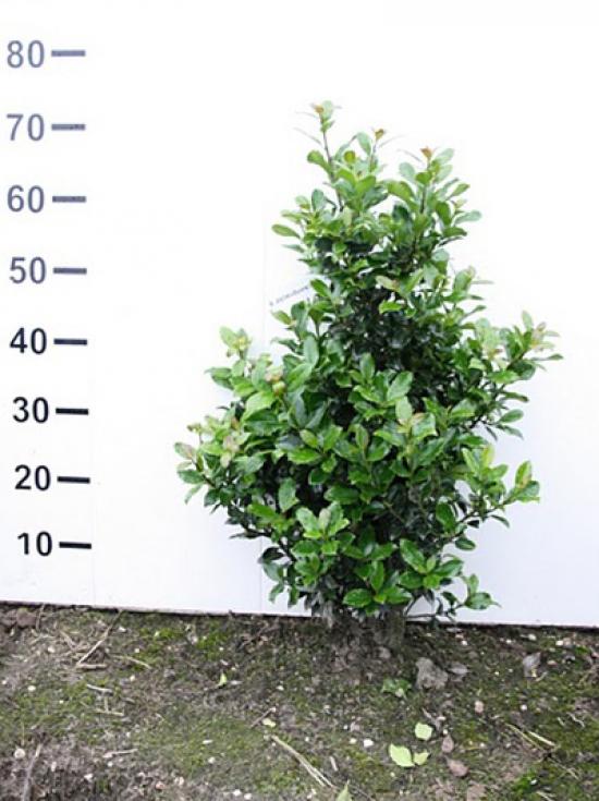 ilex meserveae 39 heckenpracht 39 g nstig in top. Black Bedroom Furniture Sets. Home Design Ideas