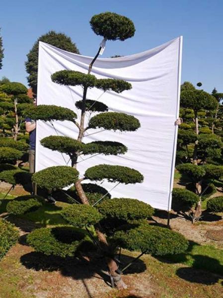 Taxus baccata H: 240 cm B: 140 cm / Garten-Bonsai (0114)