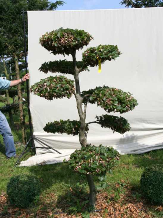 fagus sylvatica h 180 cm b 110 cm garten bonsai 702108 g nstig kaufen baumschule new garden. Black Bedroom Furniture Sets. Home Design Ideas