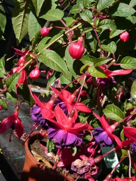 Fuchsia magellanica var. gracilis / Freiland-Fuchsie