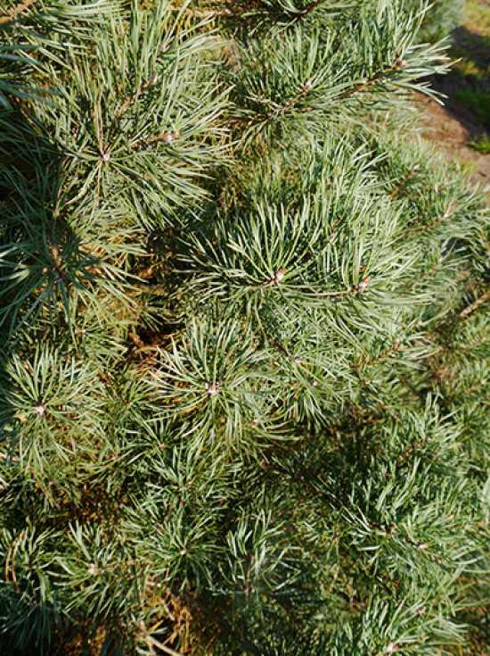 pinus sylvestris norske typ norwegische kiefer guenstig