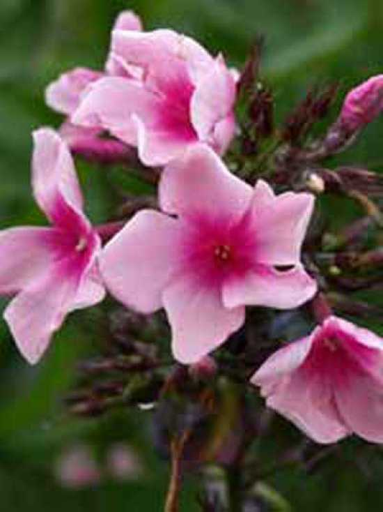phlox paniculata 39 bright eyes 39 beet flammenblume beet flammenblume g nstig kaufen. Black Bedroom Furniture Sets. Home Design Ideas