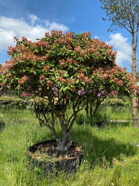 Rhododendron Hybride 'Scintillation' 225-250cm breit x 225-250cm hoch (Nr.5) / Rhododendron 'Scintillation' Schirmform